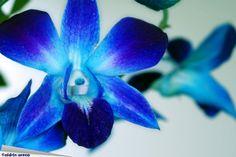Not even a little violet! Blue Orchid Tattoo, Im Blue, Devian Art, Blue Orchids, Zodiac Art, Amazing Flowers, Tinkerbell, Wedding Flowers, Tattoos