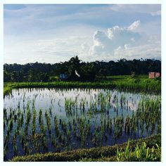 """Beautiful Bali. I always feel like I've come """"home"""" when I am here. Love the energy that oozes out of everywhere and the peaceful scenery and greenery. A far cry from stinky old Jakarta. Do you have a spiritual home and if so where?/#bali #holiday #green #ricefield #ubud #peaceful #soulfoods"""