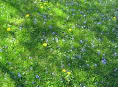 geopsych:  Violets and dandelions, May 2013.