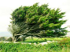 a windblown tree in Ireland