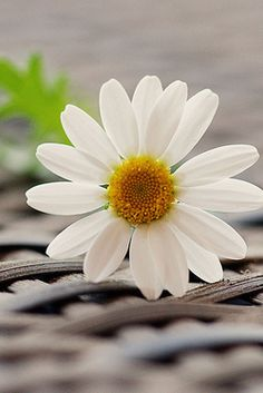 One single Daisy for Colette Amazing Flowers, Beautiful Flowers, Sunflowers And Daisies, Daisy Love, Happy Flowers, Flower Wallpaper, My Flower, Belle Photo, Cover Photos