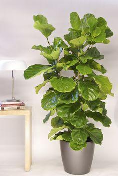 Fiddle Leaf Fig bush $119 Houston Interior Plants.com