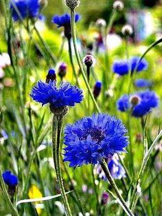 Happy Flowers, Love Flowers, Wild Flowers, Beautiful Flowers, Wildwood Flower, Wild Flower Meadow, California Poppy, Blue Garden, Champs