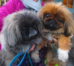 Pekingese Friends...MAMIJIRO friends