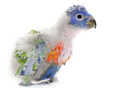 33 days after birth, a baby Rainbow lorikeet..i'm getting so pretty.....