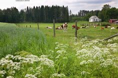 Finnish countryside almost looks like home in Puyallup Washington. Puyallup Washington, Finnish Language, Native Place, Farm Life, Homeland, Country Life, My Dream, Fields, Natural Beauty