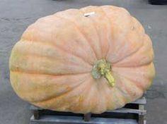 Giant Pumpkin show winner, from the article Pump up your pumpkin from growveg.com