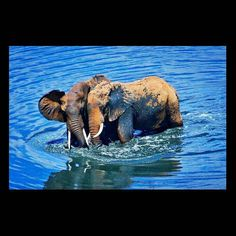Beautiful photo. .!! @africansforelephants - Friends that swim together stay together Picture by Sweden based Alireza Behrooz taken in Kenya... . . For info about promoting your elephant art or crafts send me a direct message @elephant.gifts or email elephantgifts@outlook.com . Follow @elephant.gifts for beautiful and inspiring elephant images and videos every day! . #elephant #elephants #elephantlove