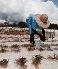 New Day ⭐️Seaweed farming in Zanzibar  captured by @shakalulu