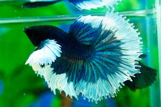 Siamese Fighting Fish - Blue/White Elephant Ear Butterfly male Betta Splendens