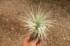 Airplants Tillandsia Gardneri 5 Pack (Grown and Shipped From California)