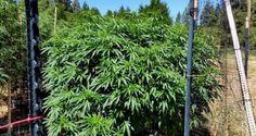 bobbyweedlover:  ganja cannabis stoner  marijuana pot grass...