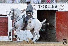 SPAIN / ANDALUSIA / Horses - The Andalusian/Iberian Horse from Spain is used in all European riding disciplines, including bull fighting and classical riding. Pamplona, Andalusia Horse, Rare Horse Breeds, Rare Horses, Black Horses, Friesian Horse, Clydesdale, Big Dogs, Equestrian