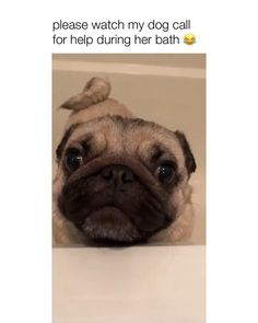 Cute Funny Dogs, Cute Funny Animals, Funny Labs, Funny Animals With Captions, Funny Animal Jokes, Funny Animal Pictures, Funny Dog Videos, Pug Videos, Cute Dogs And Puppies