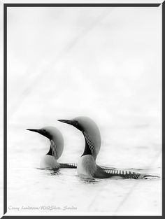 Black throated diver  | Conny Lundström - Vildmarksfotograf