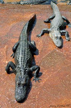 Alligator Farm(Everglades),  Florida. Jerldine Randolph Photography