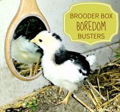 8 Brooder Box Boredom Busters for Baby Chicks | Fresh Eggs Daily®