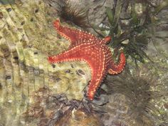 Estrella de mar en Morrocoy ,proximamente morrocoyonline.com