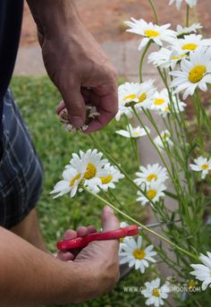 Tips for Growing A Daisy Garden