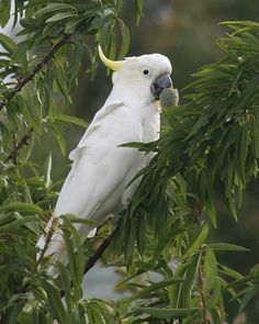 Sulphur crested Cockatoo stealing almonds