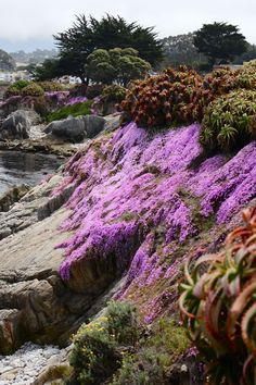 Pink Ice Flowers ~ Pacific Grove, California this was my backyard for several years loved the pink ice it dots the whole coastline of Monterey Carmel and Big Sur Pacific Grove California, California Dreamin', Wyoming, Puerto Rico, Places To Travel, Places To See, Beautiful World, Beautiful Places, Carmel By The Sea