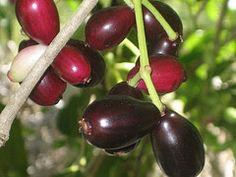 10 Frutas brasileiras que tem o poder de curar! Jamelão, minha frutinha da infância.