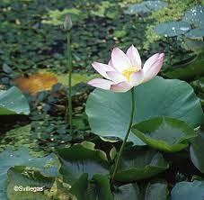 Resultado de imagen para flores de Loto