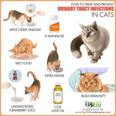 Cat Care Remedies How to Treat and Prevent Urinary Tract Infections in Cats Cat Care Tips, Pet Care, Pet Tips, Cat Uti, Benadryl For Cats, Cat Symptoms, Cat Toilet Training, Urinary Tract Infection, Kidney Infection