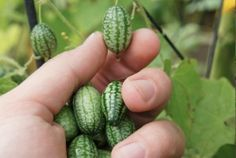 Growing Cucamelon from seed. The Cucamelon fruit is the size of a grape, looks like a melon and tastes like cucumber with a hint of lime. Hydroponic Gardening, Hydroponics, Container Gardening, Gardening Tips, Organic Gardening, Vegetable Gardening, Aquaponics Diy, Indoor Gardening, Kitchen Gardening