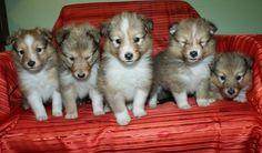 Sheltie puppies