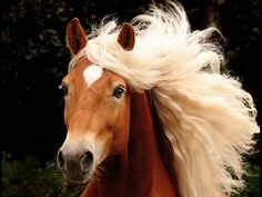 Pretty blonde Haflinger