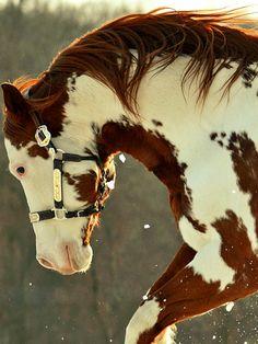 Gorgeous colorful Paint Horse.