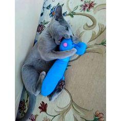 3枚post♡ お気に入りのねずみさんに激しく噛み付いてキックして遊んでいる様子😂ねずみさん痛いだろうな、、(笑)でもエルは嬉しそう💕ฅ•ω•ฅ  #お気に入りの #おもちゃ #ねずみ #ぬいぐるみ #噛み噛み #キック #猫 #ねこ #ロシアンブルー #男の子 #子猫 #5ヶ月 #エル #癒し #愛猫 #ネコ #可愛い #猫好き #cat #russianblue #cute #love #🐾