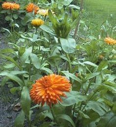 Morgenfrue - Calendula officinalis  Op til en halv meter høje enårige sommerblomster. Kan anvedes i forgrunden af busketter eller blandt andre sommerblomster. Ses ofter i køkkenhaver, hvor den giver farve og tiltrækker bestøvere.