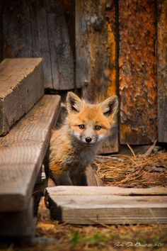 Little Red Fox, at a fox den outside of Lyons, Colorado_ USA