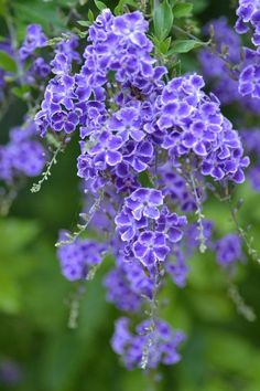 Duranta erecta is a species of flowering shrub in the verbena family Verbenaceae. Common names include Golden Dewdrop, Pigeon Berry, and Skyflower.