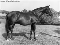 Nasrullah - Arthur B. (Bull) Hancock Jr. continued the pattern of breeding major winners, importing important stallions, and dealing with the elite among American breeders. His imported Nasrullah led the sire list five times and begot Bold Ruler, which led it no fewer than eight times and sired the immortal Secretariat.