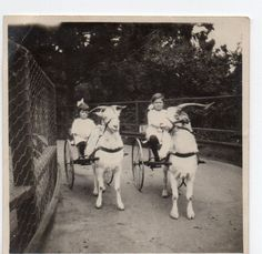 Girls Riding Goat Drawn Carts at San Francisco Photo 1914 | eBay