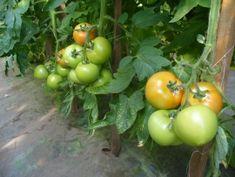 Tehnologie de cultura a tomatelor sau cultivarea rosiilor Vegetables, Food, Agriculture, Essen, Vegetable Recipes, Meals, Yemek, Veggies, Eten