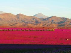 One of the driest places on the planet is currently experiencing a vibrant flower bloom, making for a rare spectacle for those living in Chile's Atacama Desert. Rare Flowers, Beautiful Flowers, Beautiful Places, Wonderful Places, Nature Climate Change, Chili, Dry Desert, Desert Flowers, Spring Flowers