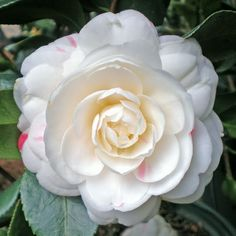 Camellia japonica 'April Dawn' (U.S., 1993)