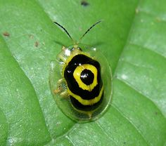 """A nice tropical tortoise beetle (Ischnocodia annulus) that I call """"target beetle"""", very common in Panama Reptiles, Amphibians, Mammals, Cool Insects, Bugs And Insects, Beautiful Bugs, Beautiful Butterflies, Rainforest Animals, Rainforest Insects"""
