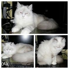 Ragdoll cat for sale olx