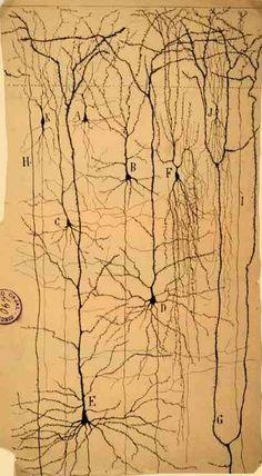 Santiago Ramón y Cajal (1852-1934). Corteza cerebral humana (1899)