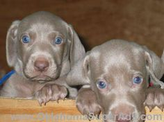 Quality-AkC-Champion Bloodline Weimaraner Puppies Are Soon Ready To Be Placed In RESPONSIBLE-LOVING homes!!! Adorable Silver/Gray Pups With Beautiful Blue Eyes Sporting Breed-Very Loyal-Devoted-& Fun Love To Hunt-Be Active Outdoors-& Most Of All Spend Time With The Family
