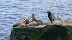 Sea lions in La Jolla, Ca.  A favorite vacation past time.  #ridecolorfully