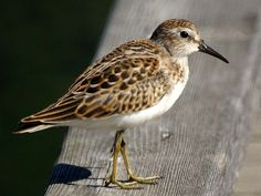 Least Sandpiper (Calidris minutilla) by NewJerseyBirds.