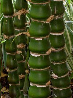 Buddha Belly Bamboo in a Florida yard