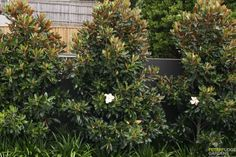 "Magnolia ""Little Gem"" 