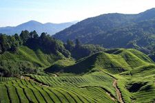 Theeplantages Cameron Highlands